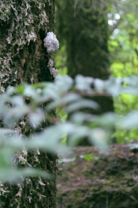 White slime mold found on a tree in the Redwood National and State Parks